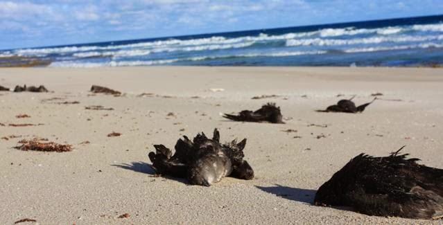 courtesy birdlife.org.au