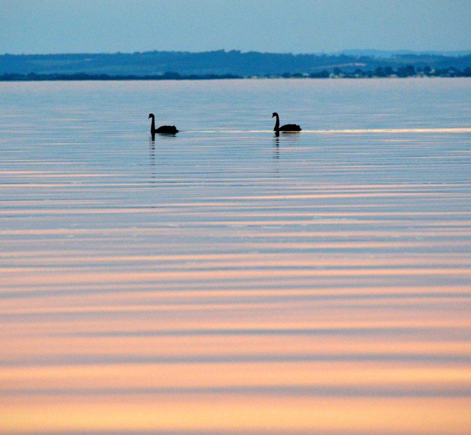 black swans at Rhyll, Lisa Schonberg