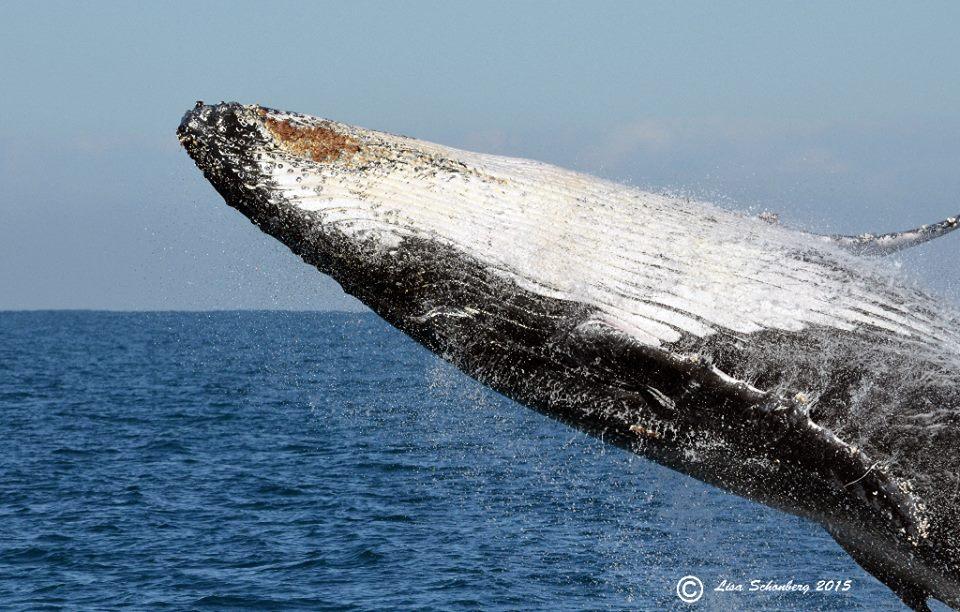 Whales Breaching Phillip Island by LIsa Schonberg - PICS Victoria.jpg.jpg